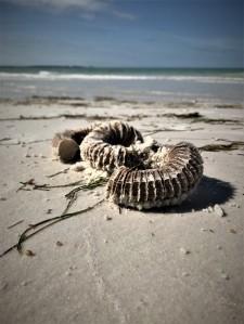 beach and whelk eggs