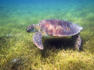 tortue marine plongée algue animal pacifique protection espèce